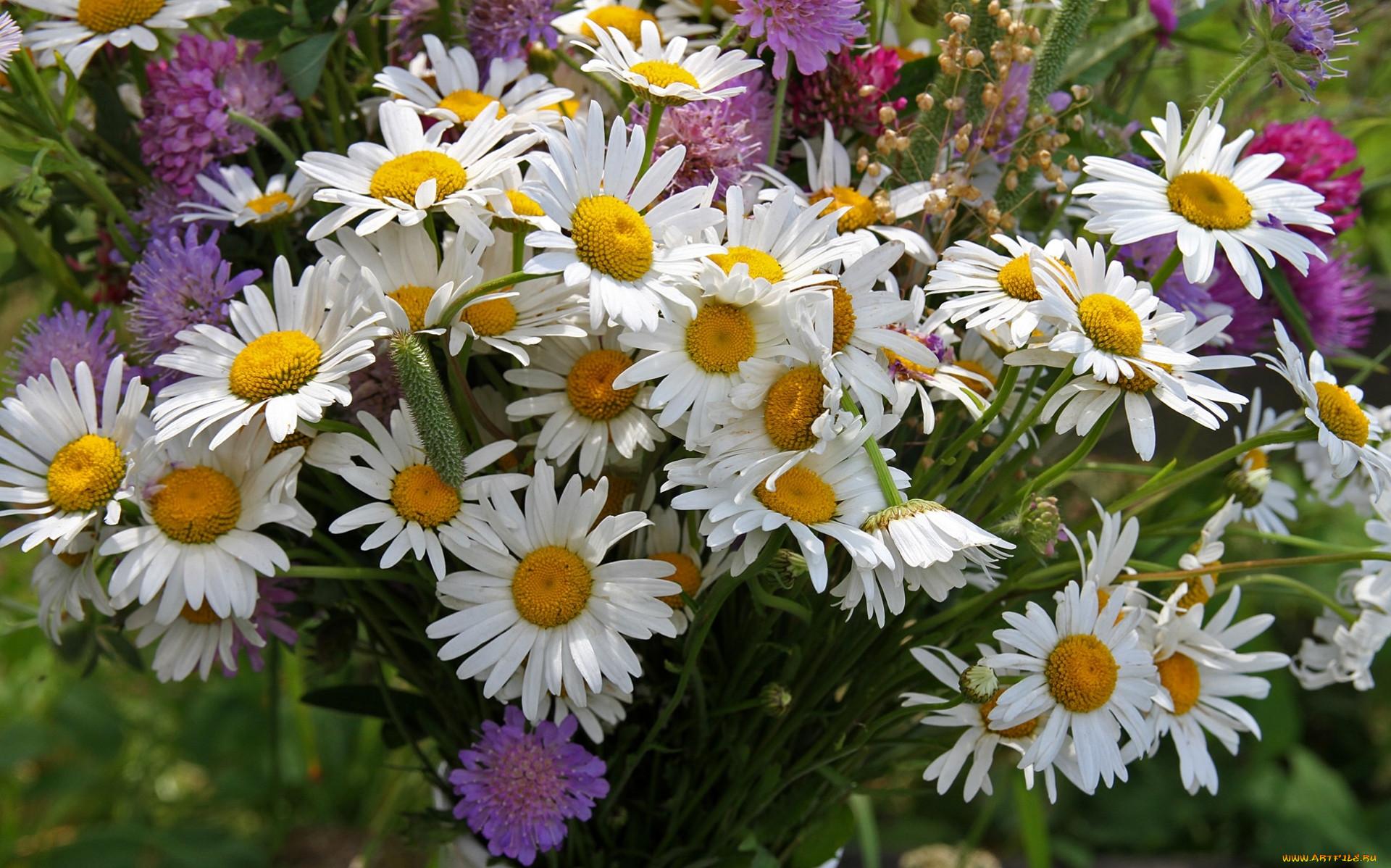 Красивые фотографии с цветами ромашки